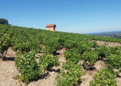 vignes Domaine Poulard